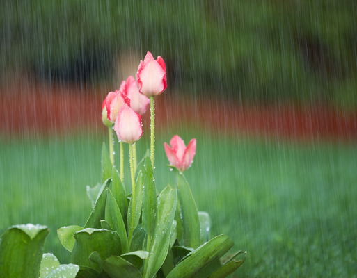 Photo of blooming pink tulips in spring time heavy rain with green grass and reddish bark in background