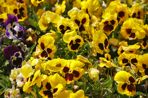 """Charming field flowers """"pansies"""" on the dim background"""