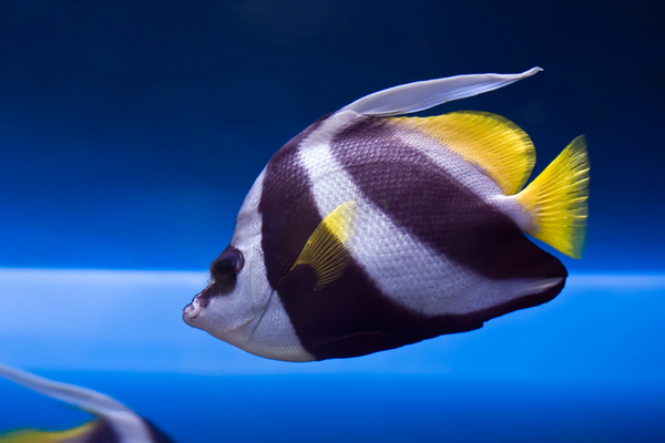 Close up of a colorful Wimplefish